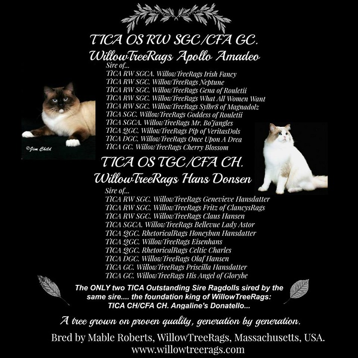 WillowTreeRags Ragdoll Kittens in Florida & Massachusetts